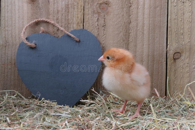 Three day old chicks. Three day old chick on straw with black slate heart, room for text stock photo
