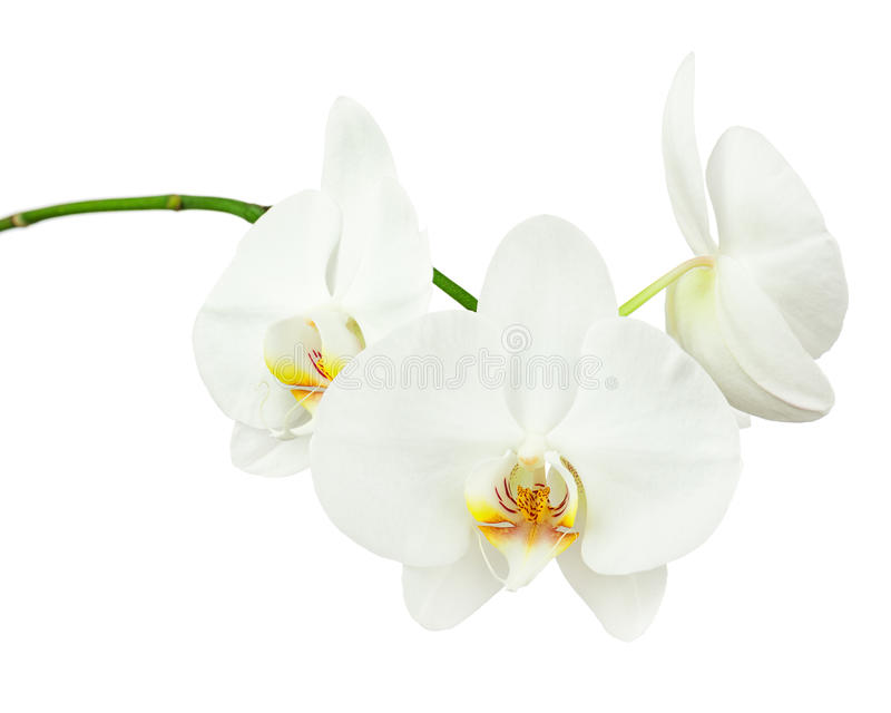 Three day old white orchid isolated on white background. Closeup royalty free stock photo