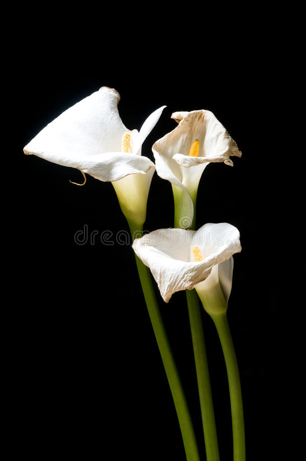Three dead arums royalty free stock images