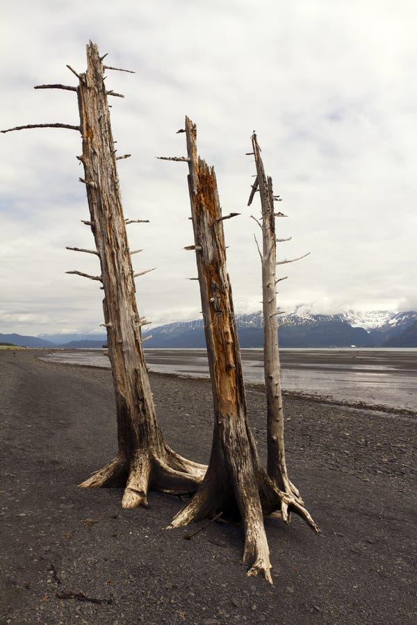 Three Dead Trees On Beach Stock Photo