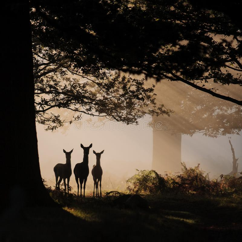 Three deer in silhouette. Three wild deer walking through an early morning mist. Tranquil and idyllic countryside scene. Early morning mist royalty free stock photo