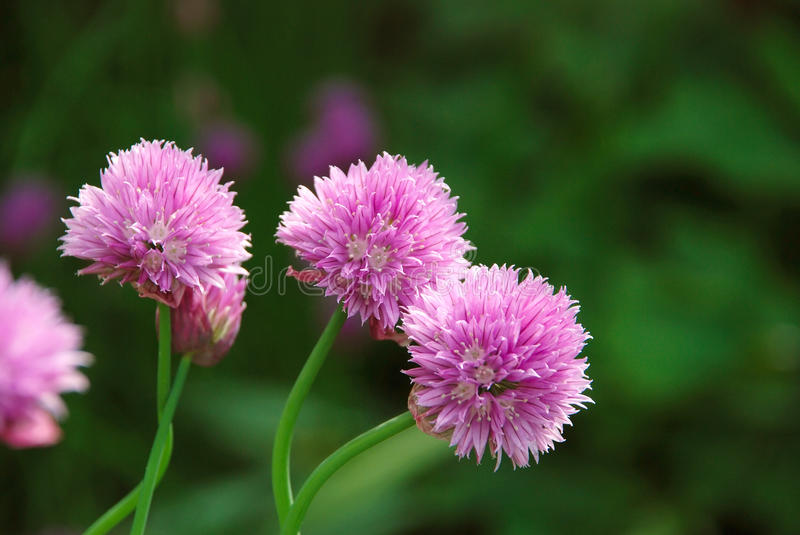 Three delicate pink blooms on a chive plant. Closeup of three delicate pink blooms on a chive plant stock image