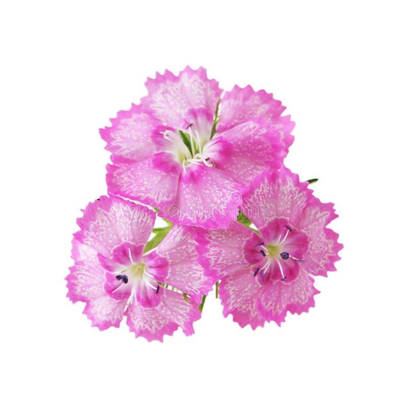 Three Dianthus stock photos