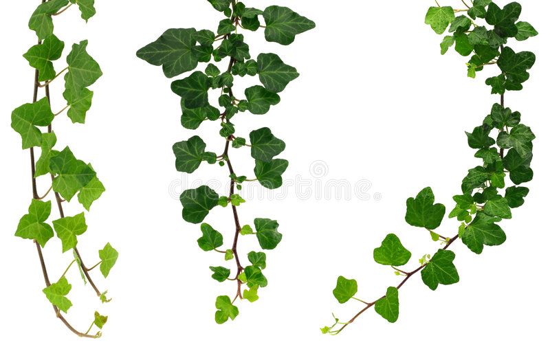 Three different green ivy twigs stock photos