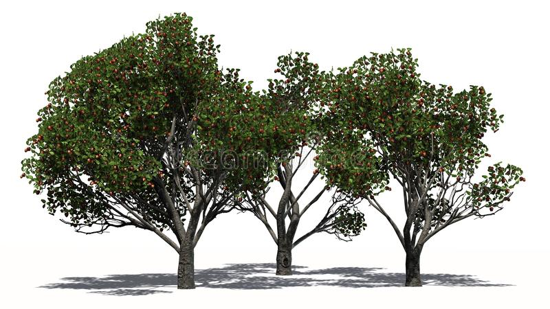 Three differently Red delicious apple trees with fruits. With shadow on the floor - separated on white background stock illustration