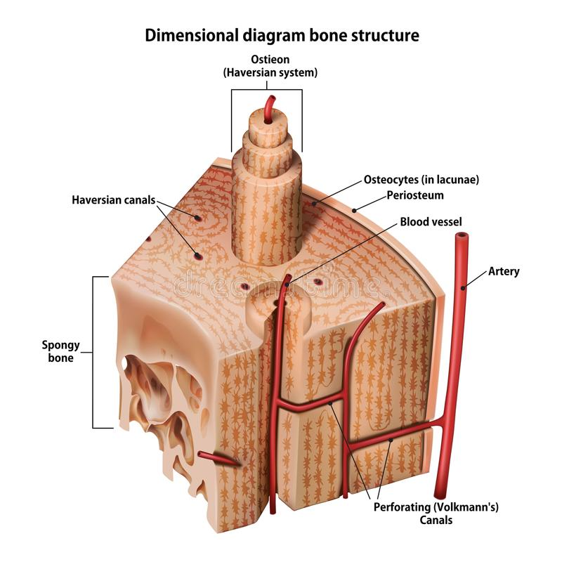 Three-dimensional diagram bone structure. On whate vector illustration