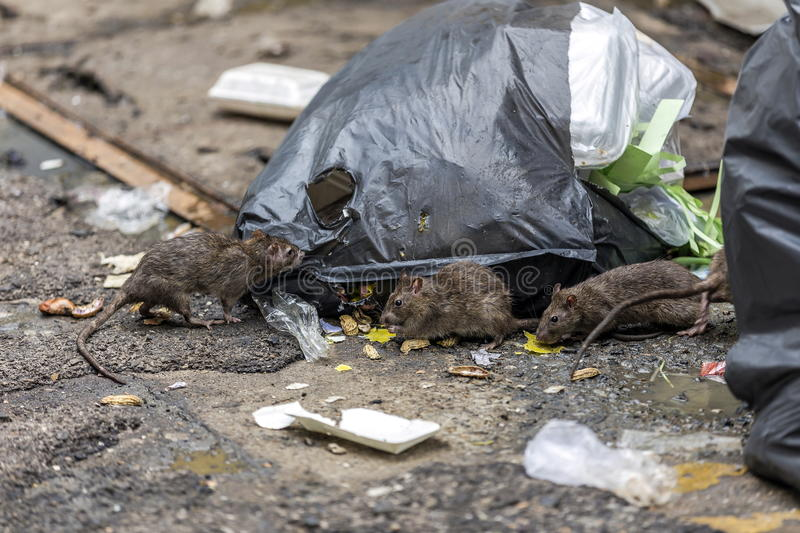 Three dirty mice eat debris next to each other. Rubbish bag On the wet floor and very foul smell. Selective focus stock photography