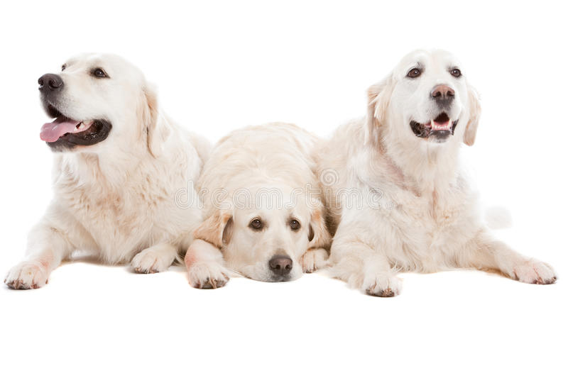 Three dogs. Three golden retriever dogs lying together on white background