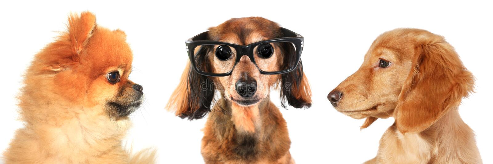Download Three dogs stock photo. Image of smart, dachshund, brown - 8308504