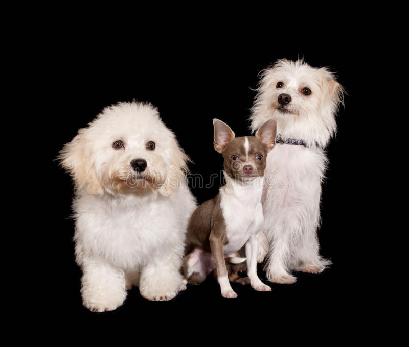 Three dogs on black stock photography