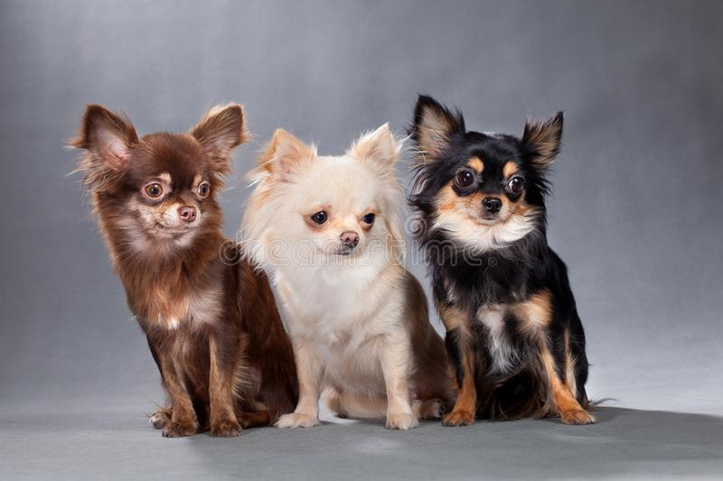 Three dogs of Chihuahua breed, different color. Three dogs of the Chihuahua breed, chocolate brown, beige, and black with a red tan, all fluffy, sitting on a royalty free stock images