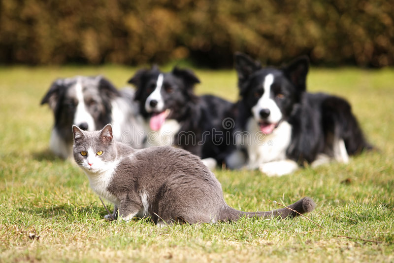 Download Three Dogs Gazing Into A Cat Stock Photo - Image: 8909814