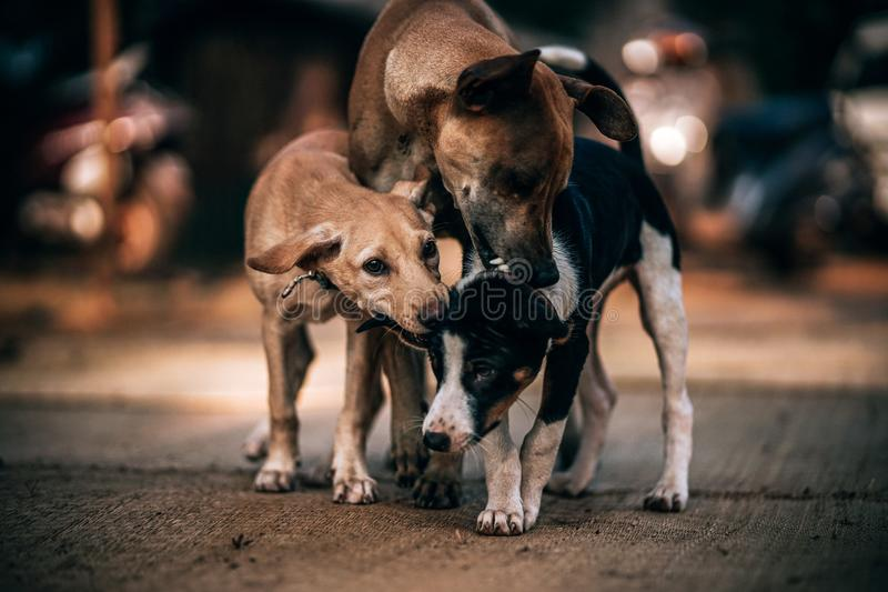 Three Dogs Playing on Gray Concrete Pavement in Selective Focus Photography stock photography