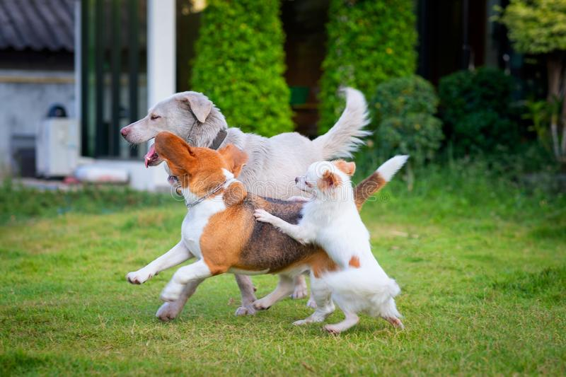 Three dogs playing on a green grassy land home garden. It looks like the dog is smiling as it bites the other dog. Beagle and stock image