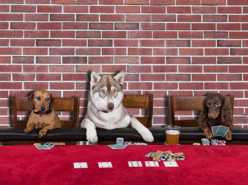 Three Dogs Playing Poker stock photo. Image of dogs ...