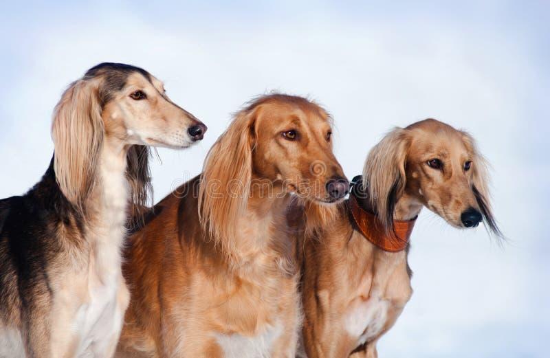 Three dogs portrait stock photography
