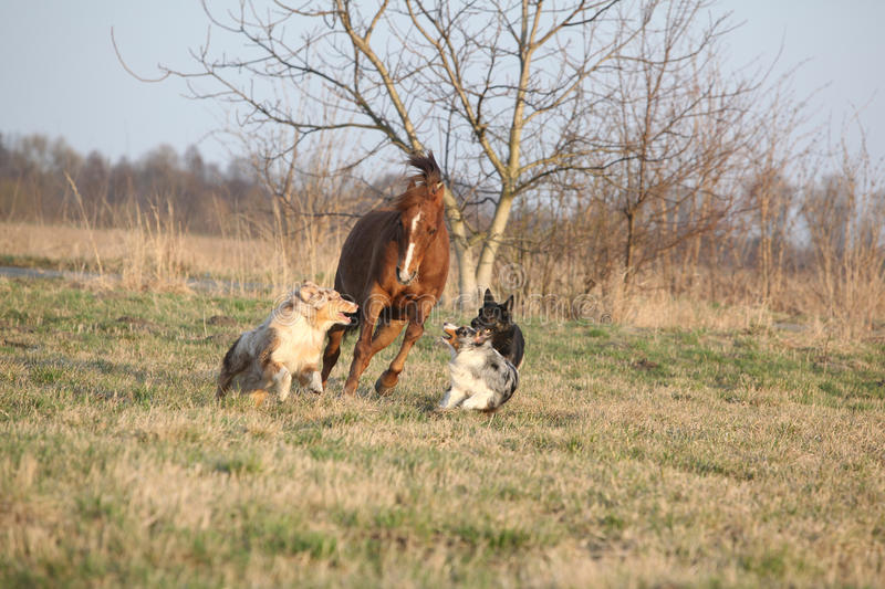 Three dogs running with chestnut horse royalty free stock photos