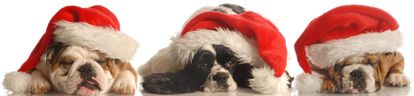 Three dogs with santa hats royalty free stock images