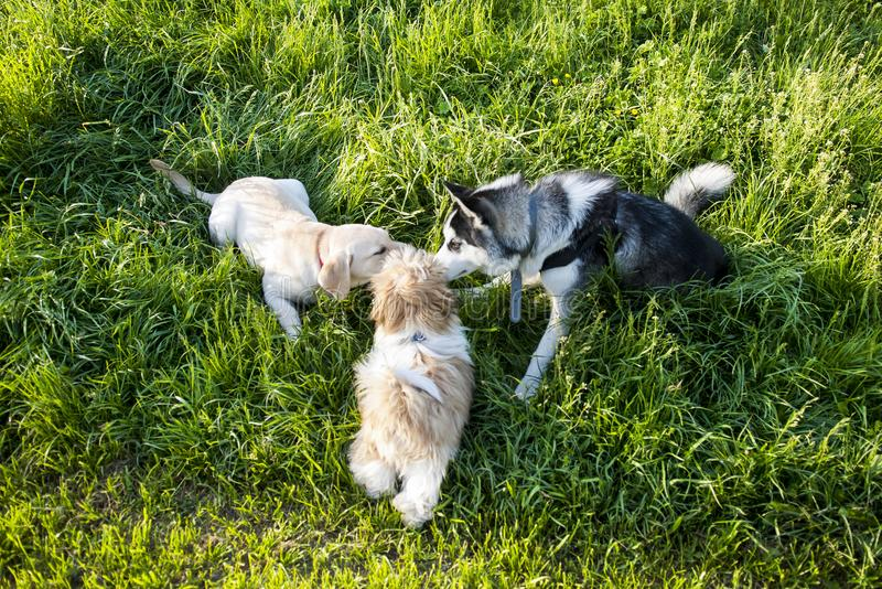 Three Dogs Smelling. Each other in a green meadow stock photography