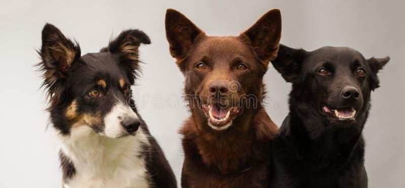 Three dogs in studio royalty free stock photo