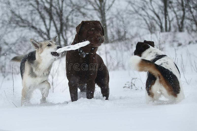 Three dogs at walk running and playing at snow in winter royalty free stock photography