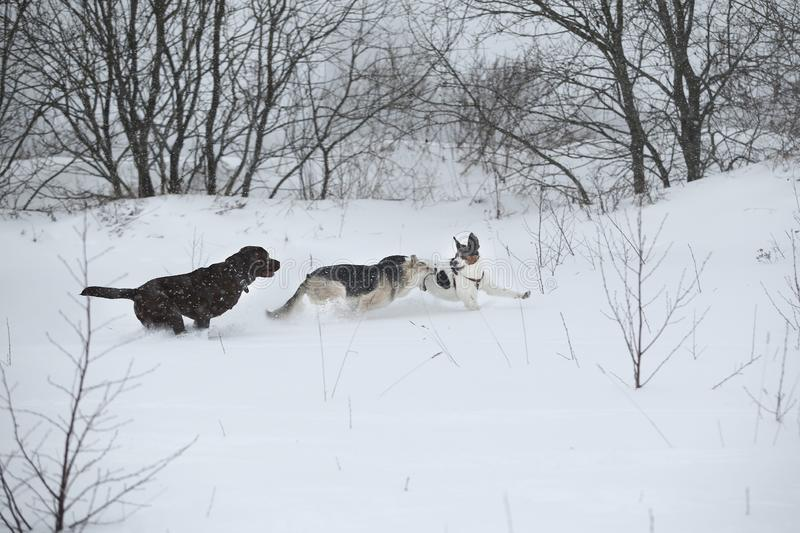 Three dogs at walk running and playing at snow in winter stock photos