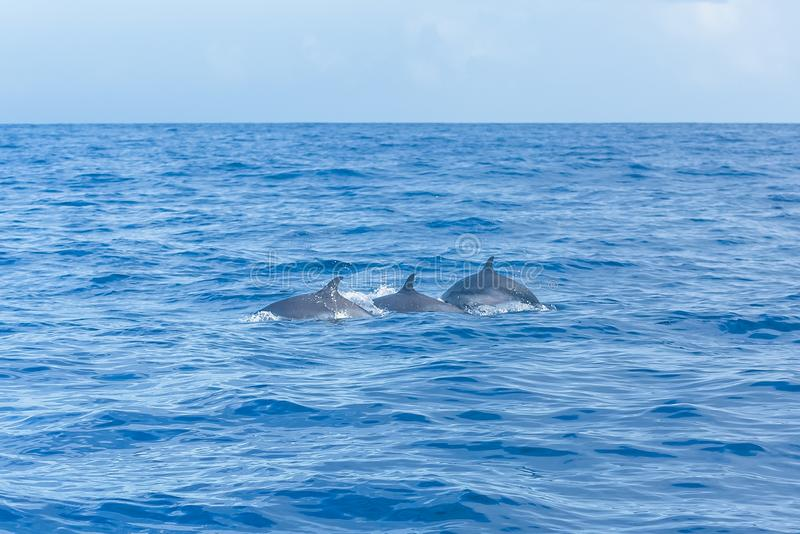 Dolphins swimming. Three dolphins swimming and diving in turquoise sea stock images