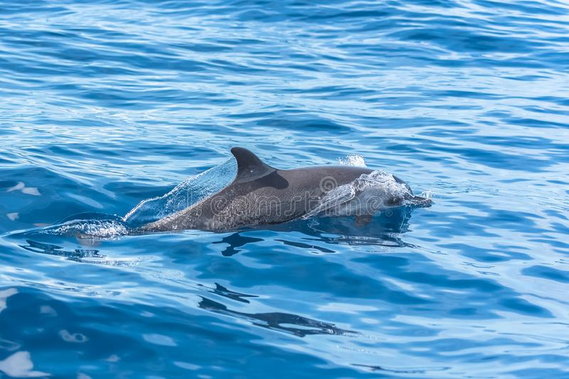 Dolphins swimming. Three dolphins swimming and diving in turquoise sea stock image