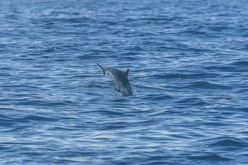 Dolphins swimming. Three dolphins swimming and diving in turquoise sea royalty free stock photos