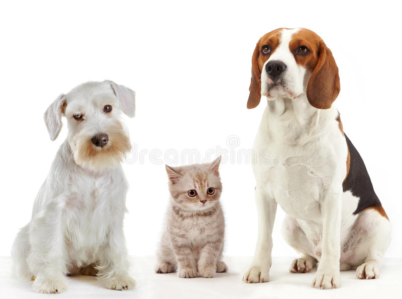 Three domestic animals cat and dogs. Sitting on a white background royalty free stock photo