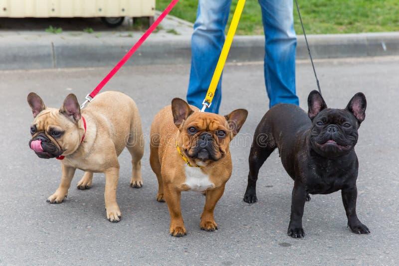 Three domestic dogs French Bulldog breed royalty free stock image