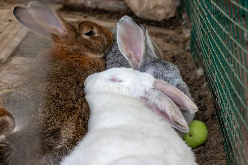 Three domestic furry white and grey farm rabbits bunny sleeping in cage at animal farm. Livestock food animals growing in cage stock image