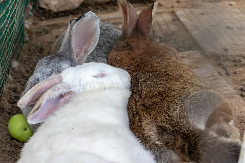 Three domestic furry white and grey farm rabbits bunny sleeping in cage at animal farm. Livestock food animals growing in cage.  royalty free stock image