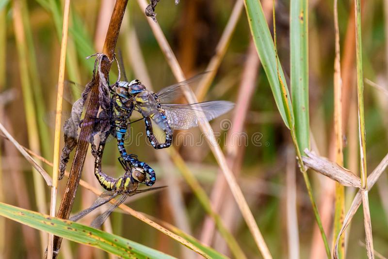 Dragonflies in the autumn reed. Three dragonflies in the autumn reed royalty free stock photos