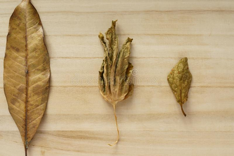 Three dried leaves royalty free stock photo