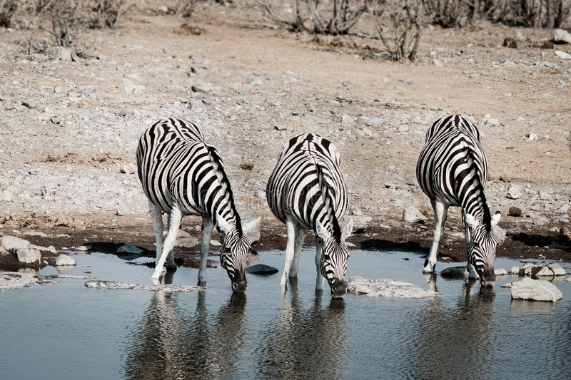 Three drinking zebras royalty free stock photo