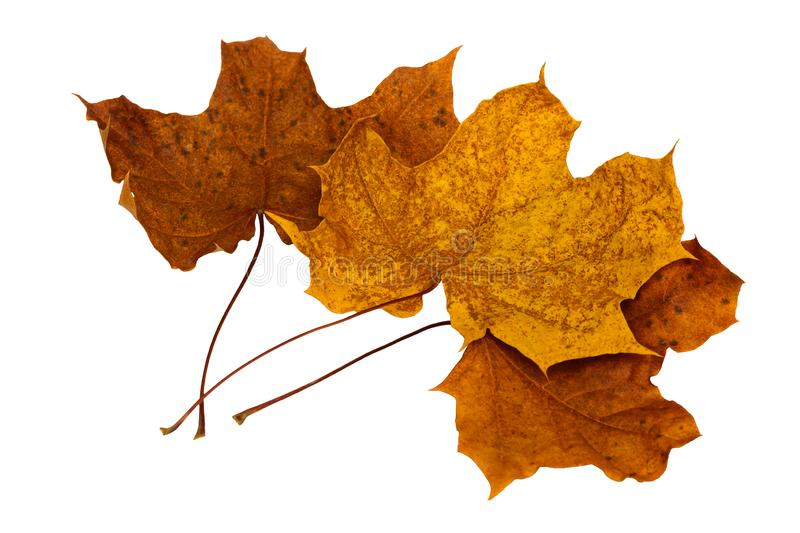 Three dry fallen maple leaves royalty free stock images