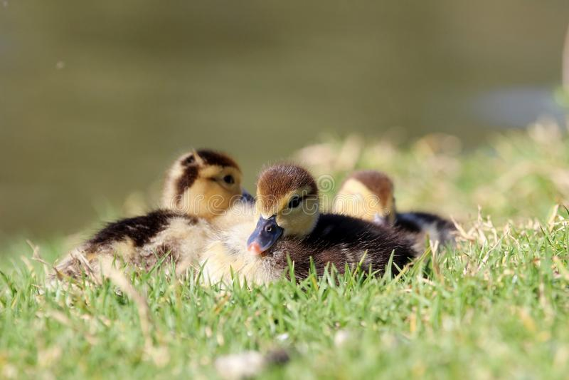 Three duck chicks royalty free stock photography