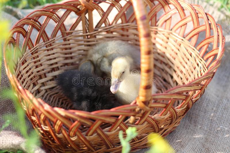 Three ducklings in a basket royalty free stock photography