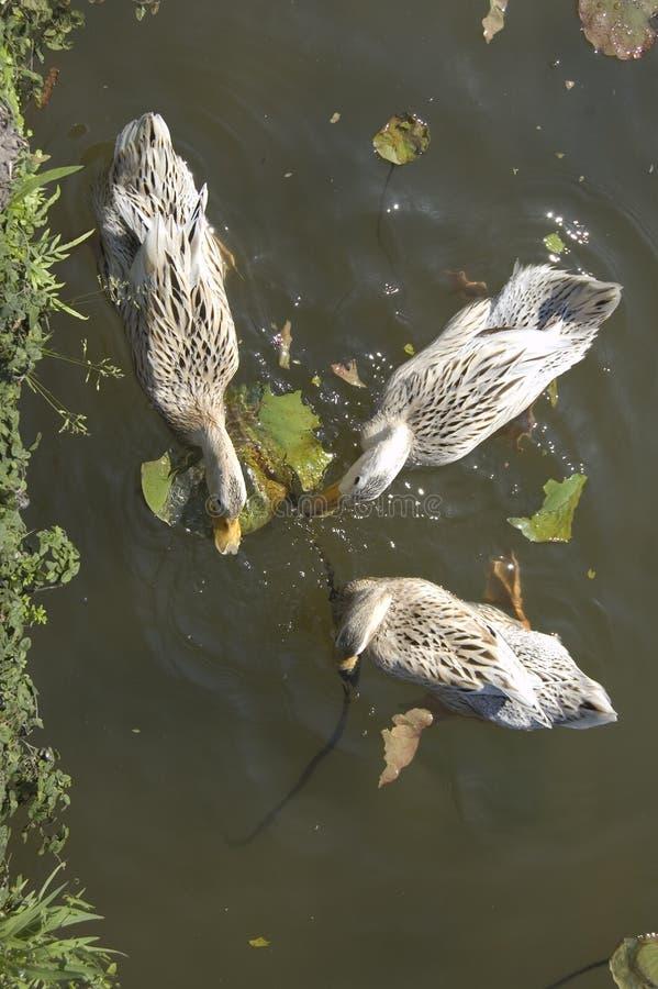 Three ducks from above. Three ducks swimming in pond at Hongcun, Anhui, China stock photos