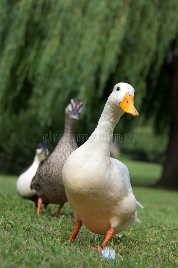 Three ducks in a row royalty free stock images