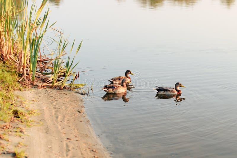 Three ducks swim in the lake at sunset stock photos