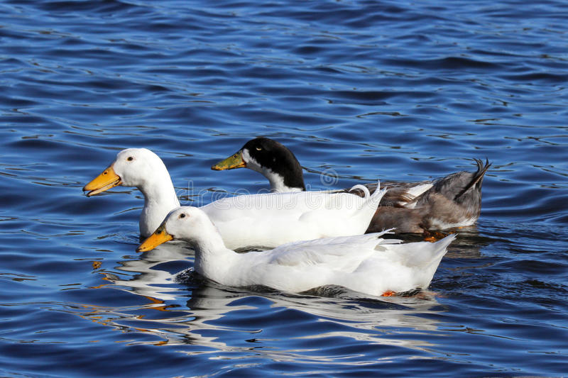 Three Ducks royalty free stock images