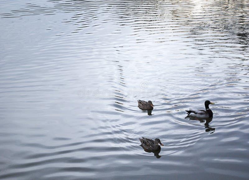 Three Ducks Swimming in Pond royalty free stock photo