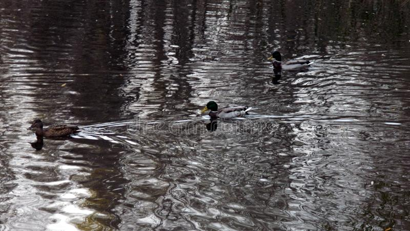 Three ducks are swimming in the water stock image