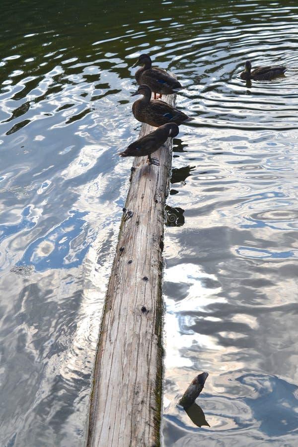 Three ducks on wood beam half submerged in metalic water. stock photography