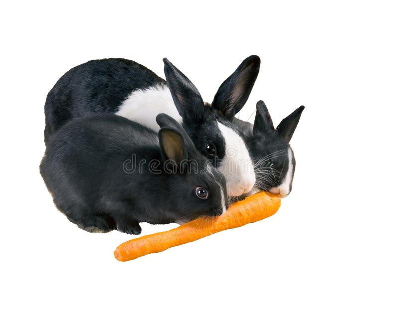Three Dutch rabbit dwarf Mother and baby eat carrot. Isolate. D on white background stock images