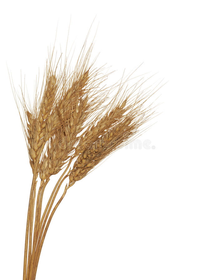 Download Three ear of wheat group stock photo. Image of dried - 24088562