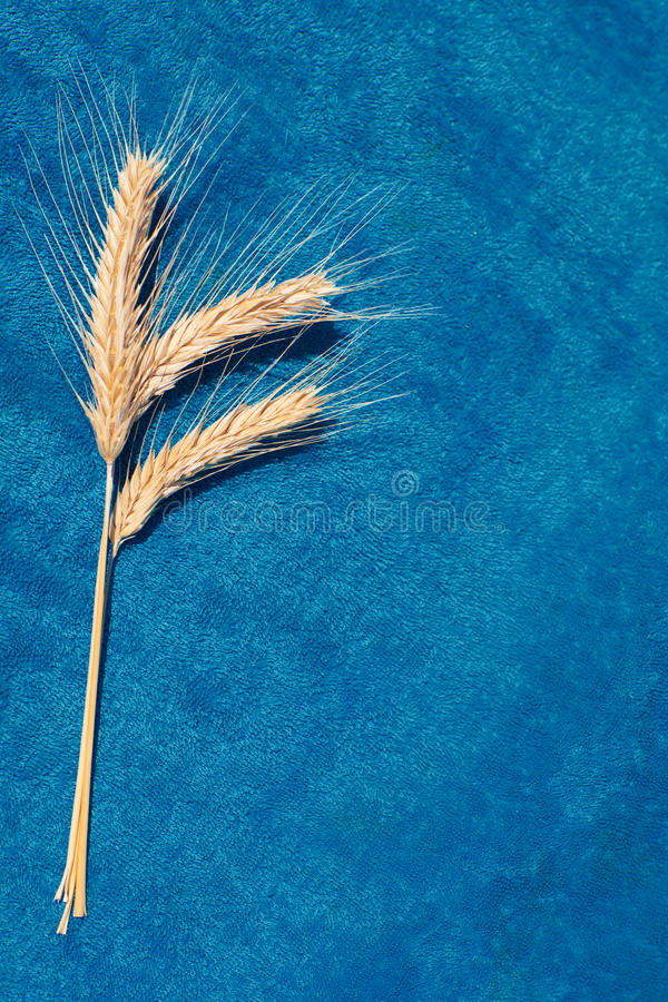 Three ears on blue background stock photography