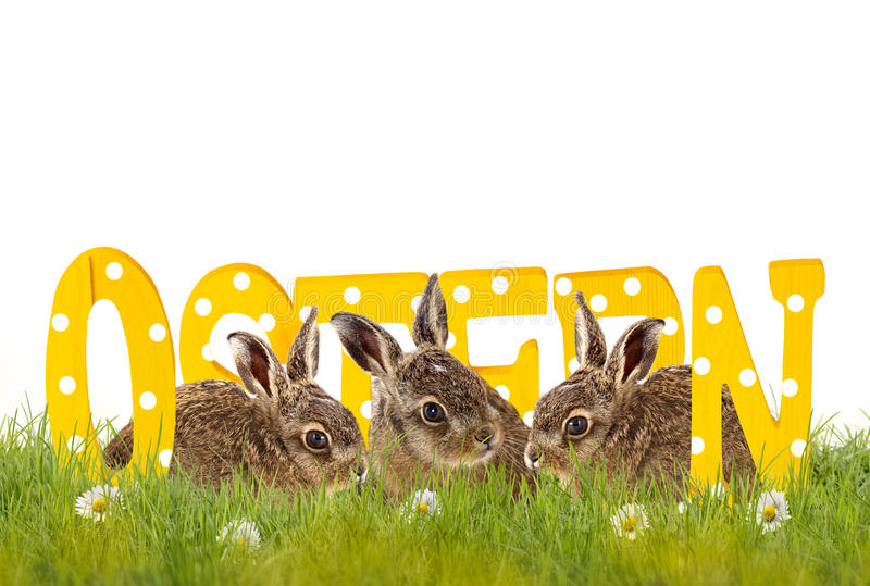 three Easter bunnies sitting in meadow with wooden letters (Ostern) royalty free stock images